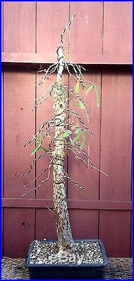 Bald Cypress bonsai specimen