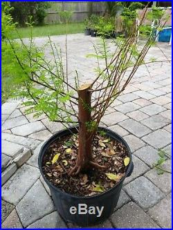 Bald Cypress for bonsai, healthy thick trunk and roots