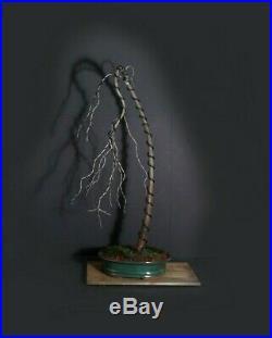 Bald cypress bonsai tree, 2020 conifer collection from Samurai-Gardens
