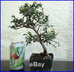 Beautiful Chinese Catlin Elm for mame shohin bonsai tree great shape
