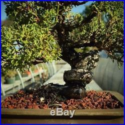 Beautiful Shimpaku Juniper Kishu Grafted From New England Bonsai Gardens