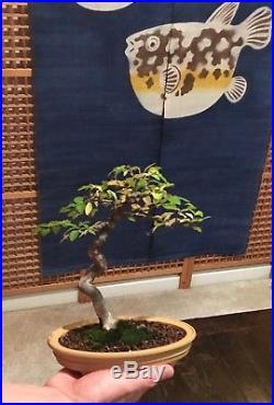 Beautiful Specimen Literati Chinese Elm Shohin Bonsai In Refined Vintage Pot