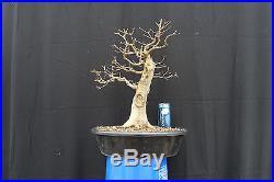 Big Beautiful Natural Trident Maple Bonsai PENNY START & NO RESERVE