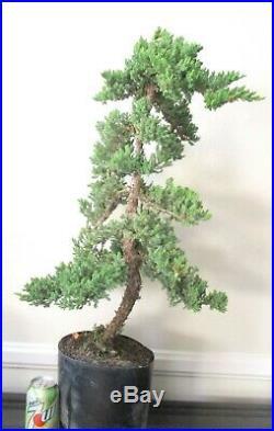 Big Japanese Juniper for shohin mame bonsai tree great shape tall trunk