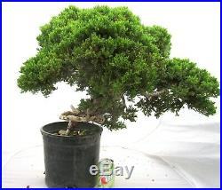 Big Japanese Juniper for shohin mame bonsai tree great shape thick trunk