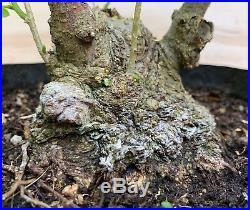 Big Mimosa Silk Tree Flowering Bonsai Tree Turtleback Style Pink Blooms HTF