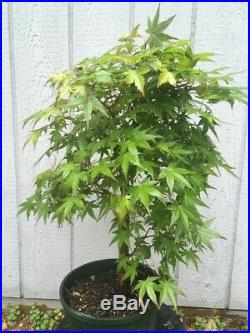 Big Old Japanese Maple Tree Pre Bonsai Stock