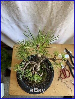 Black Pine (cultivar Yatsufusa) Aka Cork Bark