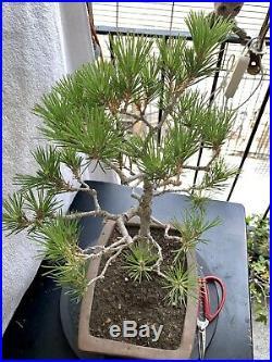 Black pine Bonsai