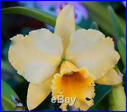 Blc. Kure Beach'Lenette #2' IN SPIKE Orchid Plant