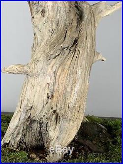 Blue Alps Juniper Bonsai