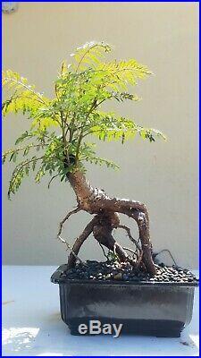 Blue Jacaranda Bonsai Tree, Sale