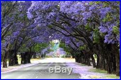 Blue Jacaranda Tree Flowering PreBonsai Specimin ABUNDANT Trumpet Blossoms