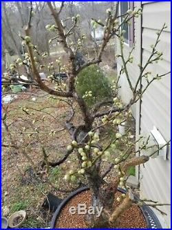 Bonsai 20+ years old Ume bonsai tree on 13 Mica pot