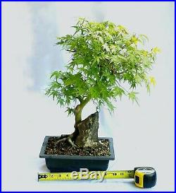 Bonsai Acer Palmatum