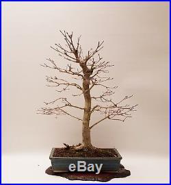 Bonsai Ahorn Acer Palmatum Yamamoiji