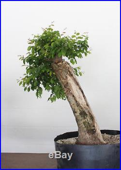 Bonsai, American Hornbeam, Carpinus caroliniana, Massive Trunk with Deadwood #2