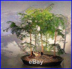 Bonsai Boy`s Redwood Bonsai Tree Three 3 Tree Forest Group metasequoia glypto