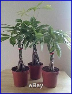 Bonsai Braided Money Tree Plant Live Housepalnt Office Indoor Best GIft New