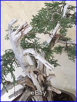 Bonsai California Juniper specimen