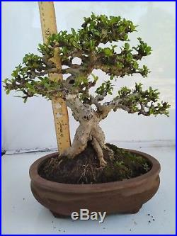 Bonsai Carmona Microphylla CHAMPION R2