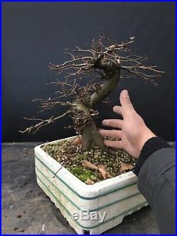 Bonsai Carpino Bianco Carpinus Betulus
