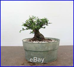 Bonsai, Catlin Elm, Awesome Taper and Base, Super Prebonsai, Tiny Leaves