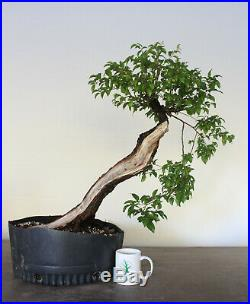 Bonsai, Chickasaw Plum, Fruiting and Flowering Bonsai, Beautiful Deadwood