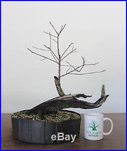 Bonsai, Chickasaw Plum, Fruiting and Flowering Bonsai, Incredible Deadwood