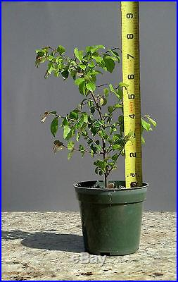 Bonsai, Chinese Bird Plum, Sageretia theezans, Starter Tree, SPRING SPECIAL