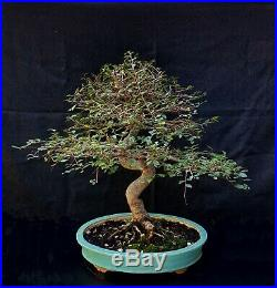 Bonsai Chinese Elm (Ulmus Parviflora)
