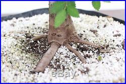 Bonsai, Chinese Elm, Ulmus parvifolia, Premium Prebonsai, Outstanding Nebari #1