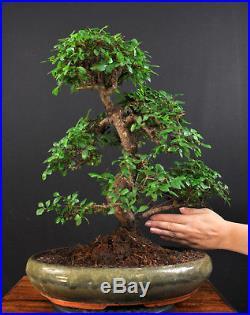 Bonsai Chinesische Ulme Ulmus Parvifolia Indoor Alt Baum Pflegeleicht