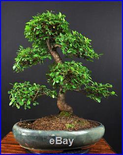 Bonsai Chinesische Ulme Ulmus Parvifolia Indoor Alt Gross Baum Pflegeleicht