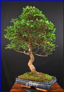 Bonsai Chinesische Ulme Ulmus Parvifolia Indoor Baum Gross Alt Pflegeleicht