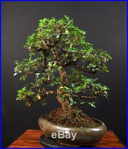 Bonsai Chinesische Ulme Ulmus Parvifolia Indoor Baum Gross Pflegeleicht