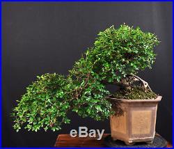 Bonsai Chinesische Ulme Ulmus Parvifolia Kaskade Indoor Solitär Pflegeleicht