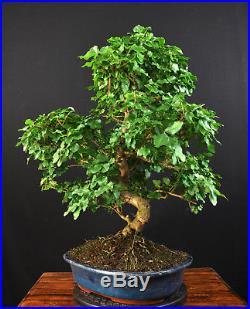 Bonsai Chinesischer Liguster Ligustrum Sinensis Indoor Baum Pflegeleicht