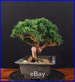 Bonsai Chinesischer Wacholder Itoigawa Juniperus Chinensis Outdoor