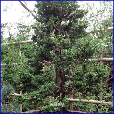 Bonsai Chriptomarea Jin Sugi Tree 30 Years Old In Clay Bonsai Pot Large 3.5