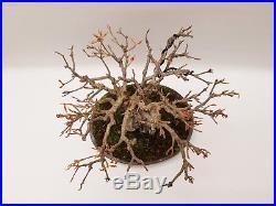 Bonsai Dreispitzahorn Acer Buergerianum über Stein