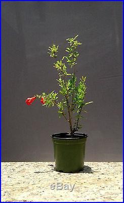 Bonsai, Dwarf Pomegranate, Punica granatum nana, Starter Tree, Very healthy