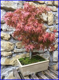 Bonsai Érable Du Japon Deshojo Red Acer Top Qualité