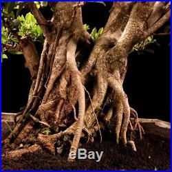 Bonsai Ficus Microcarpa 13.1855