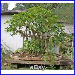 Bonsai Garden's Dwarf Hawaiian Umbrella Tree (Indoor) Plant Pot Home New