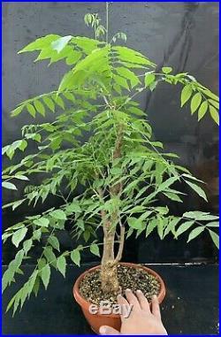Bonsai Glicine Wisteria Sinensis