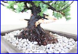 Bonsai, Green Mound Juniper, Procumbens Nana, High Quality Unstyled Prebonsai