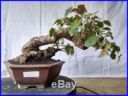 Bonsai Hibiscus Tiliaceus