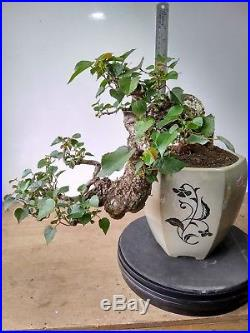 Bonsai Hibiscus Tiliaceus Cascade Style