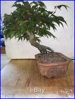 Bonsai Japanese BONEY DOUGLAS maple shohin mame EXPOSED ROOT 27YRS